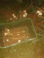 Mais três são presos por furto de aipim