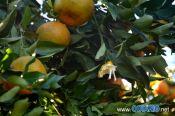 Seis são presos por furtar frutas