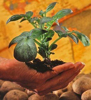 Encomendas de sementes de batata